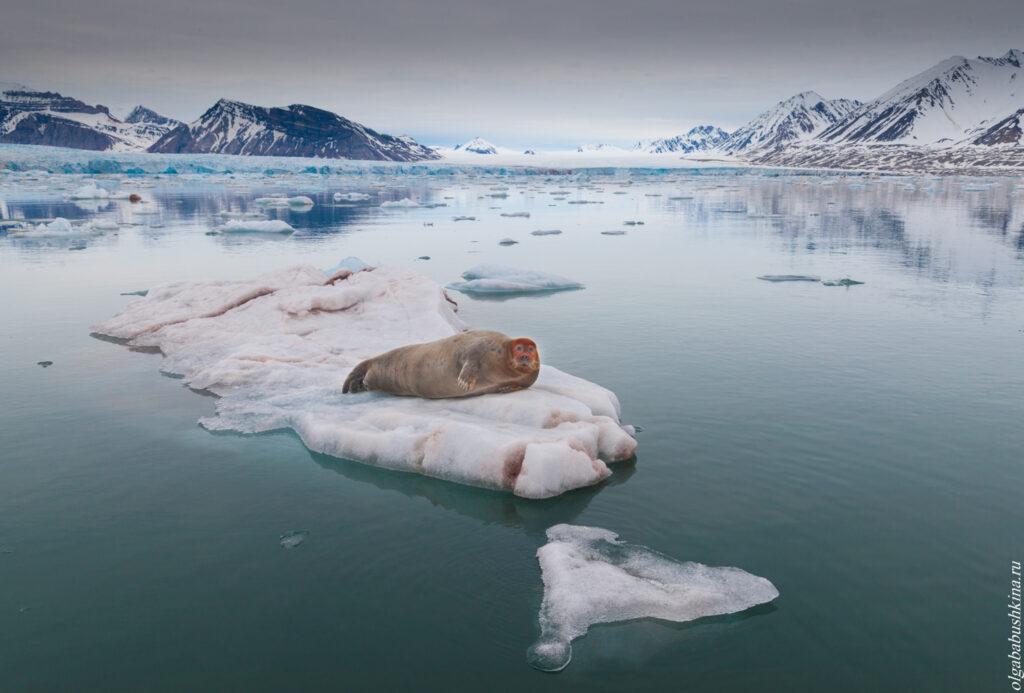 Лахтак, морской заяц, льдина, Северный Ледовитый океан