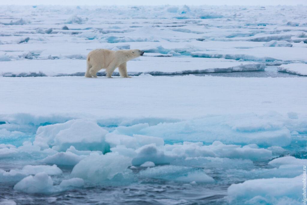 Белый медведь во льдах