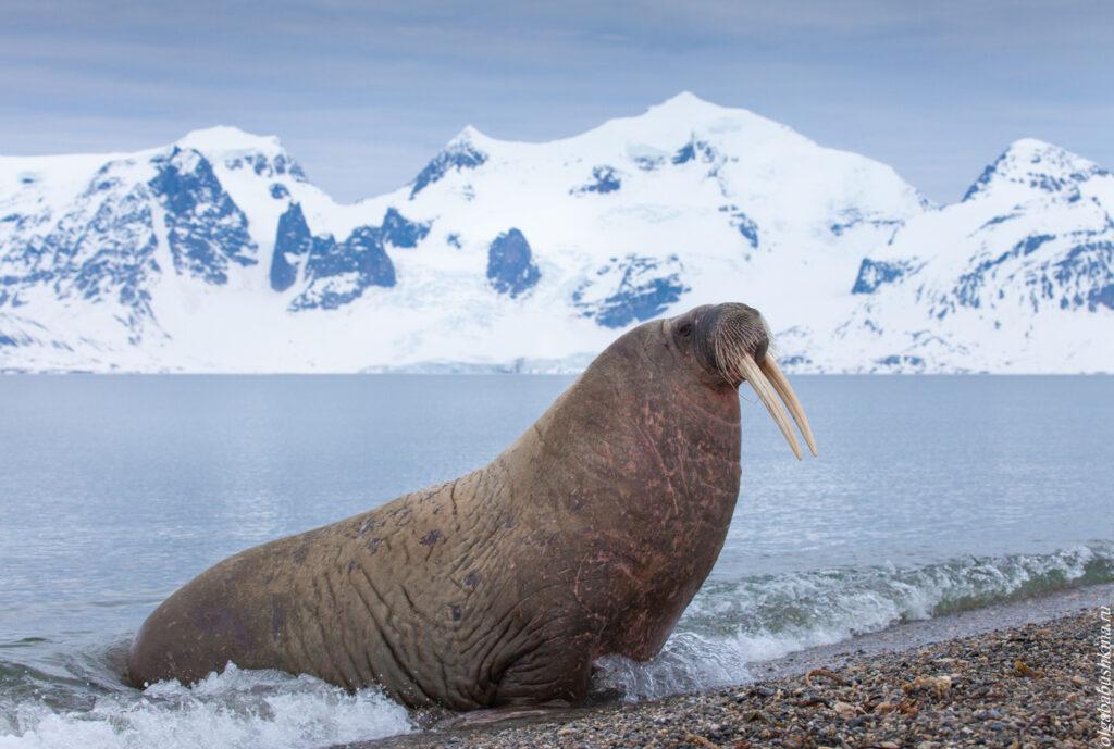 Морж, Северный Ледовитый океан, Шпицберген