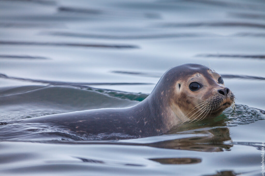 Кольчатая нерпа, Свальбард