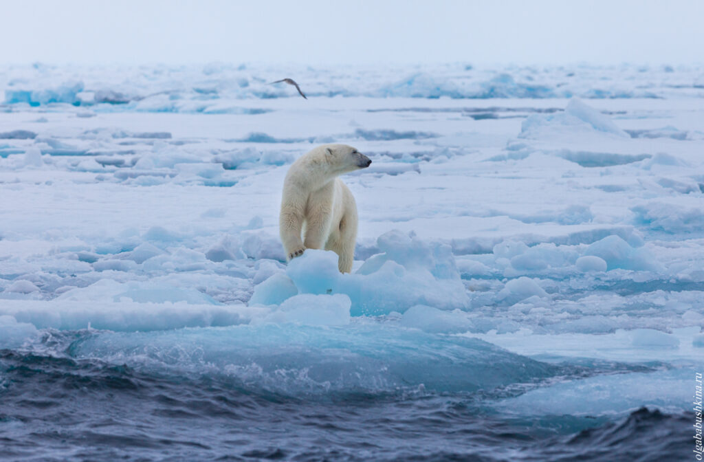 фототур Шпицберген, Белый медведь во льдах