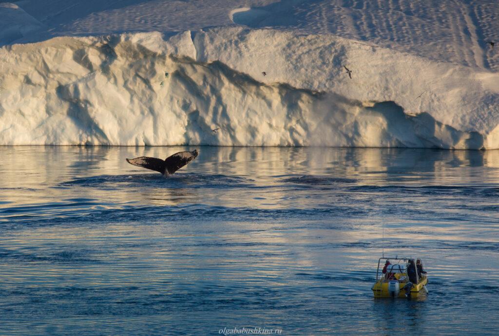 Наблюдение за китами, Арктика, Илулиссат