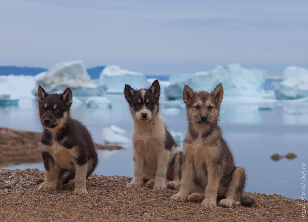 Гренландские собаки, псы, щенки