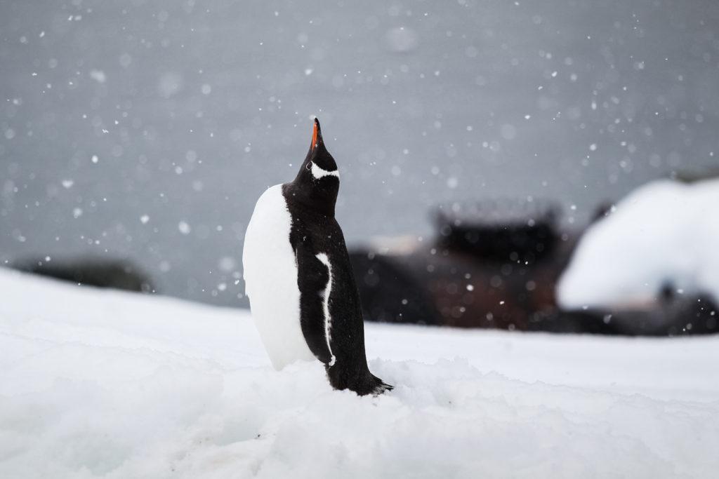 Антарктида, пингвин, фототур